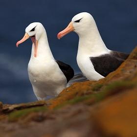 Albatros černobrvý