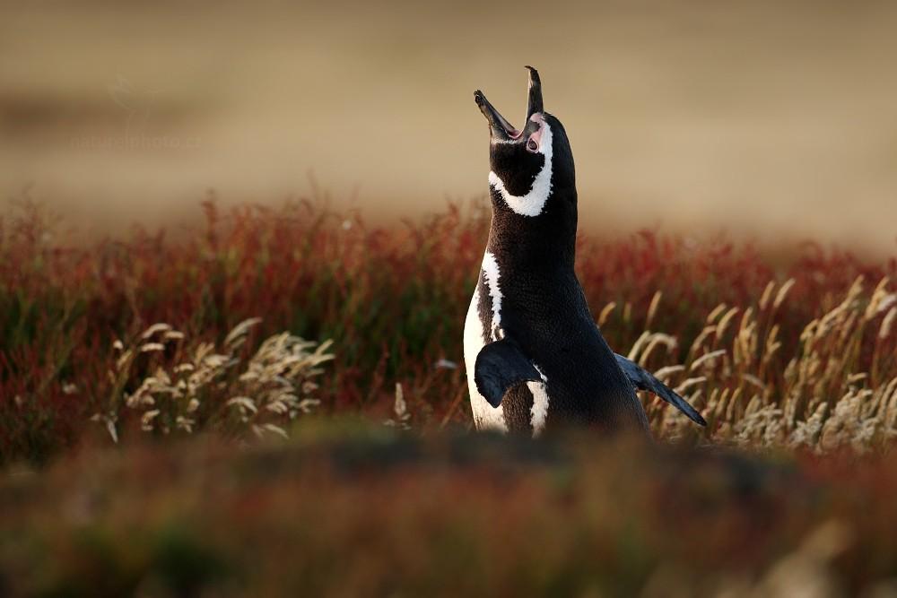 Tučňák magellanský