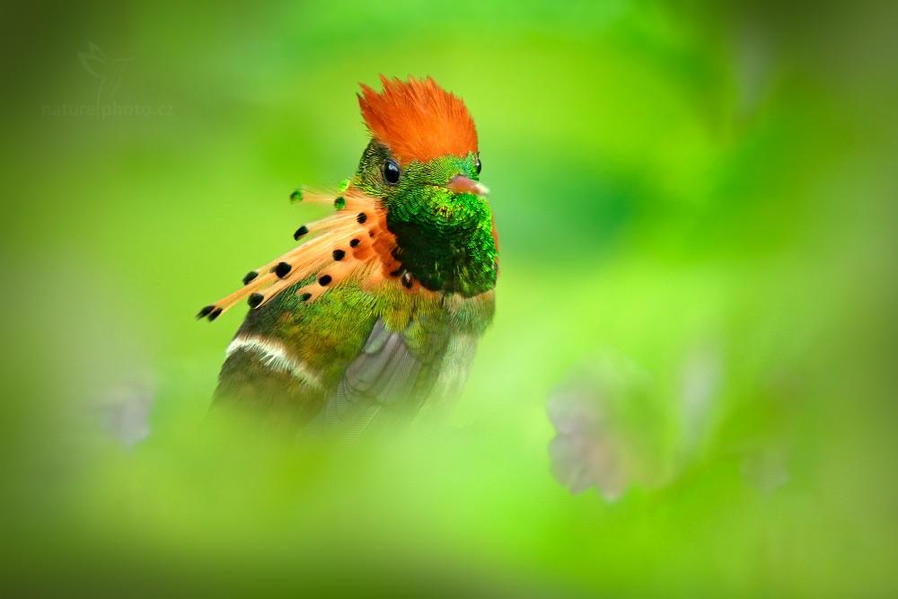 Kolibřík ozdobný