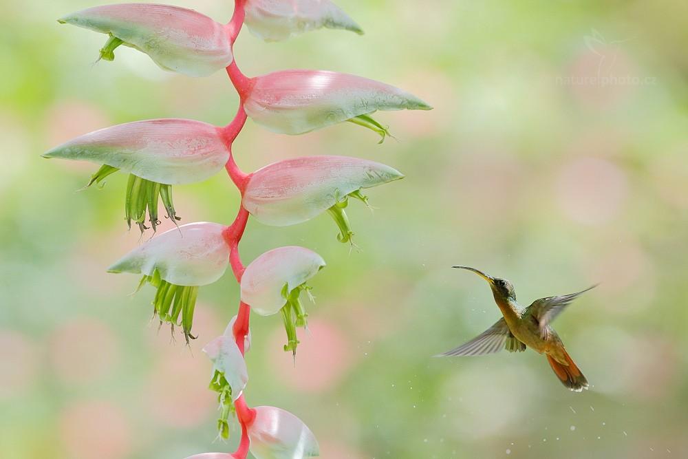 Kolibřík ryšavoocasý