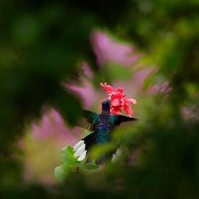 Kolibřík fialkový