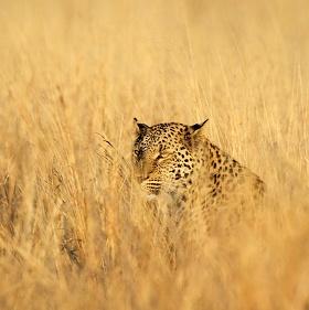 Levhart jihoafrický