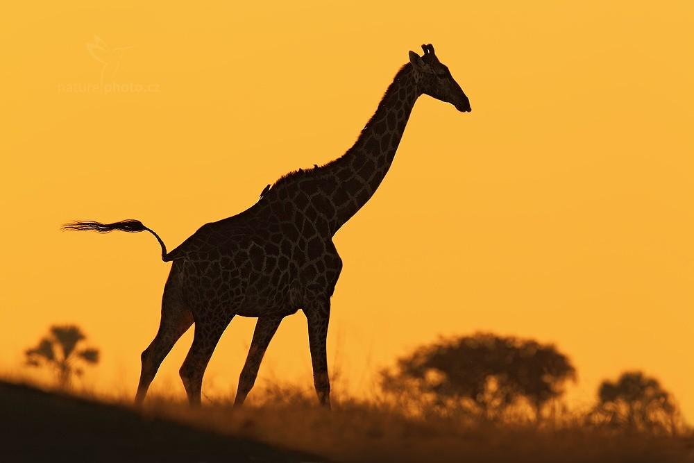 Žirafa angolská