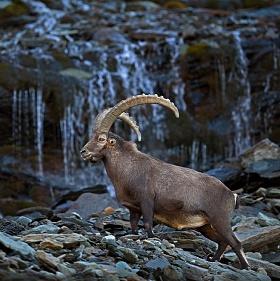 Kozorožec alpský