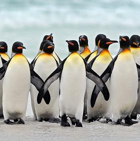 Tučňák patagonský