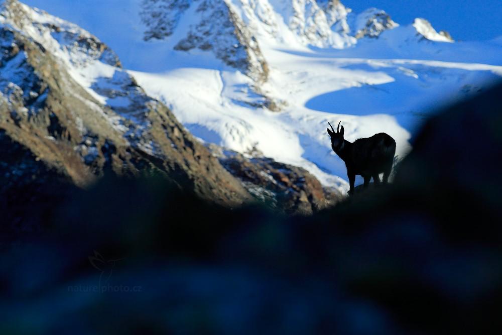 Kamzík horský alpský