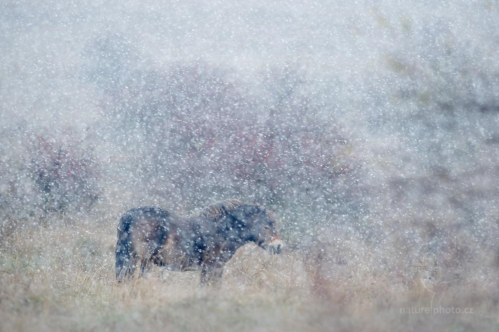 Kůň divoký