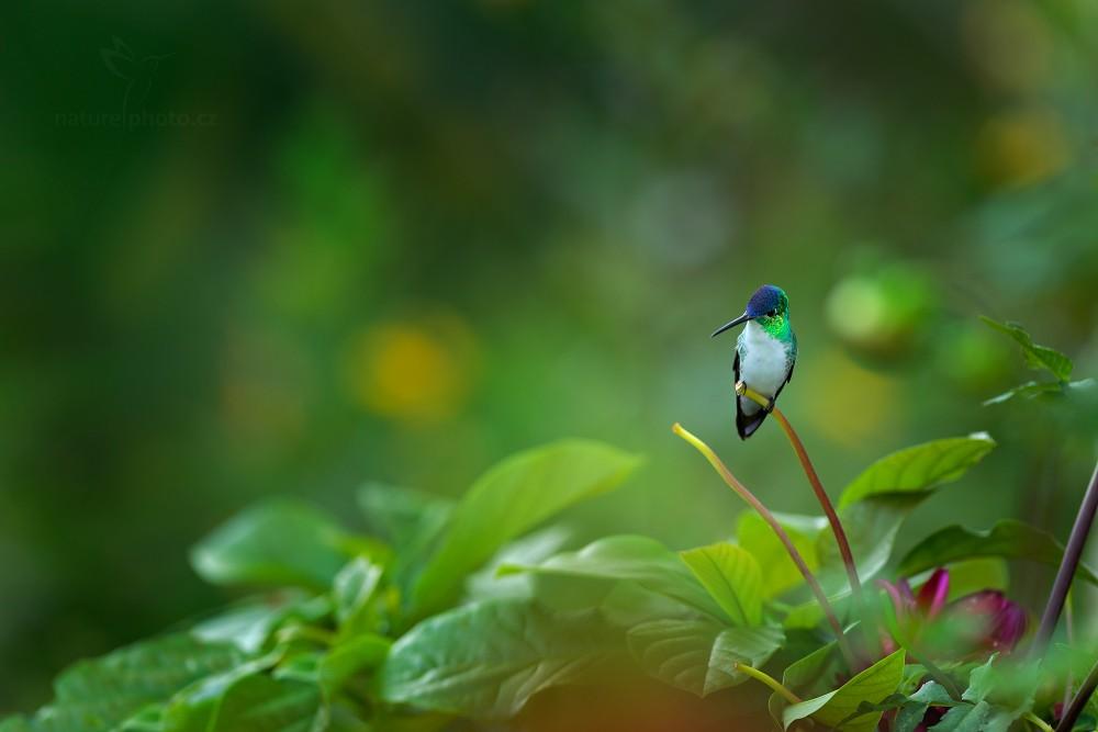Kolibřík andský