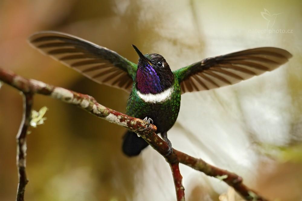 Kolibřík bělolímcový