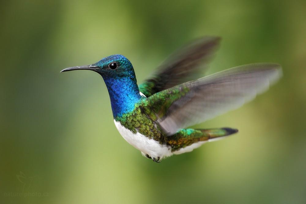 Kolibřík bělokrký