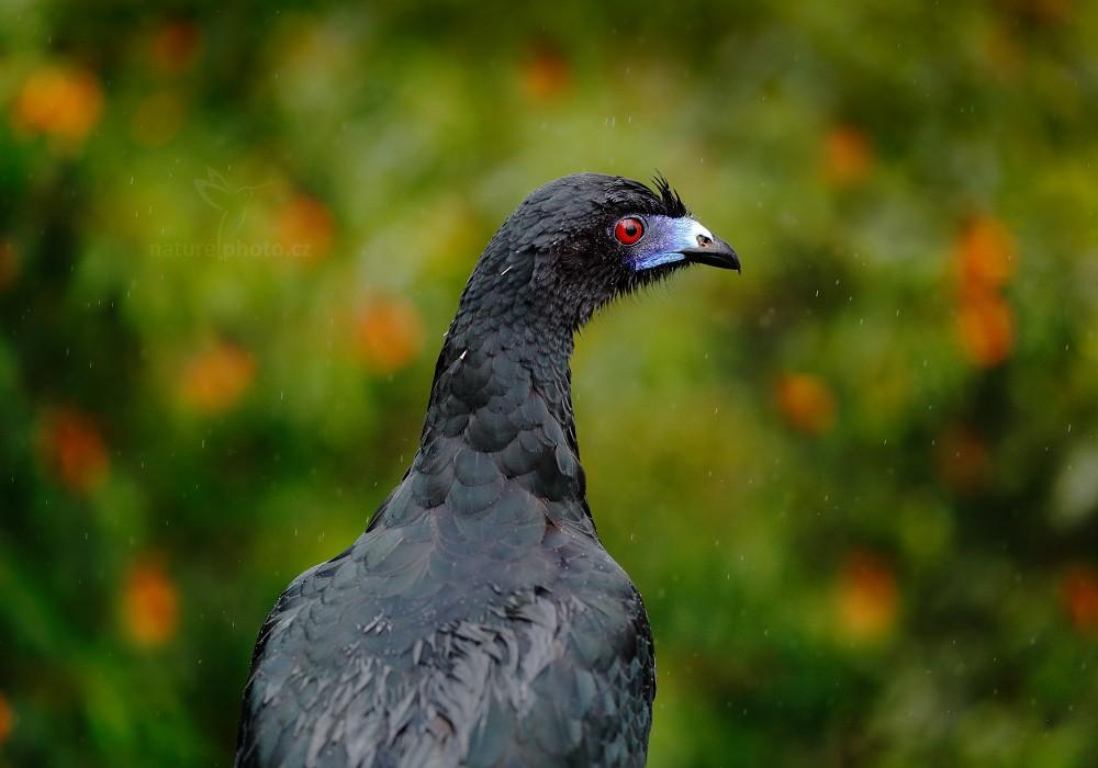 Guan černý