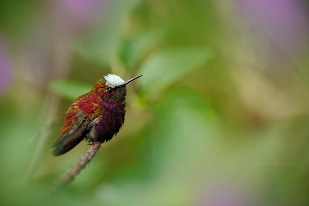 Kolibřík běločelý