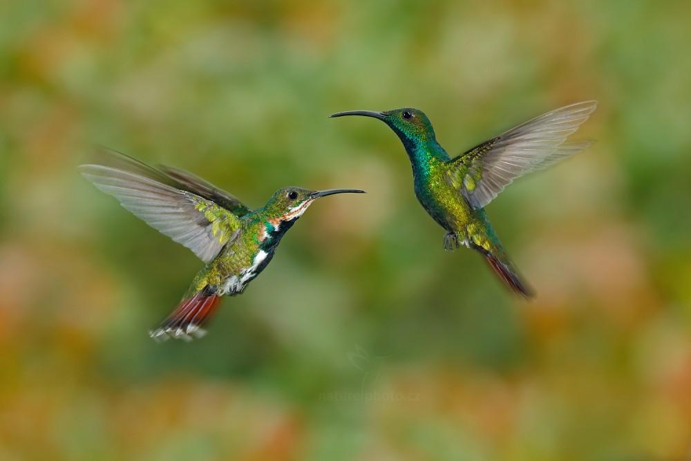 Kolibřík lesklý