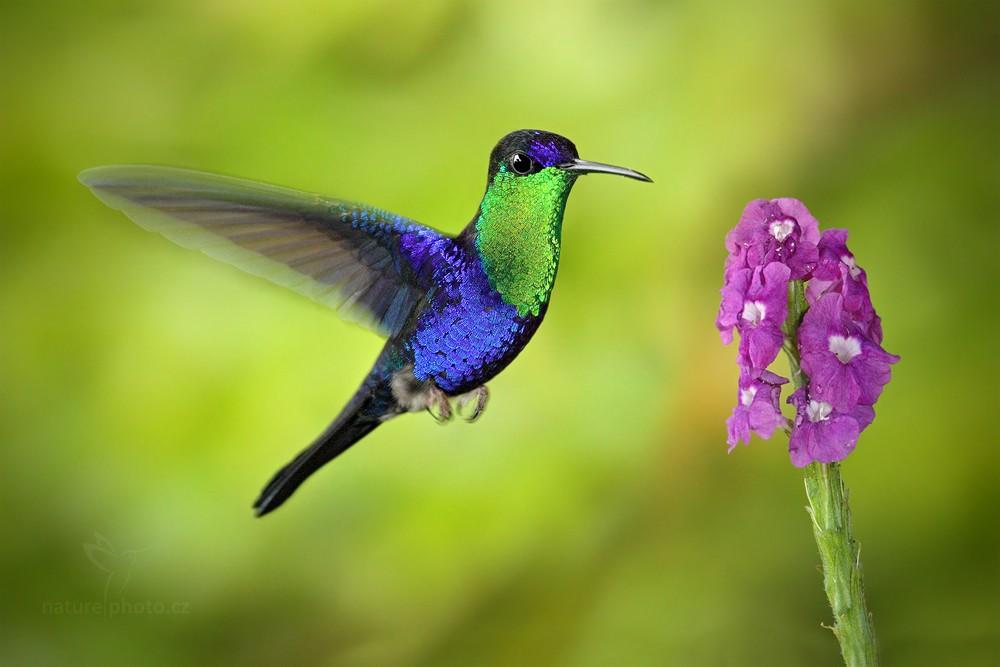 Kolibřík vidloocasý