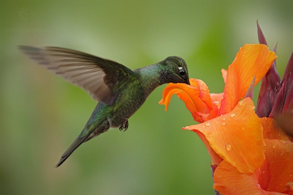 Kolibřík skvostný