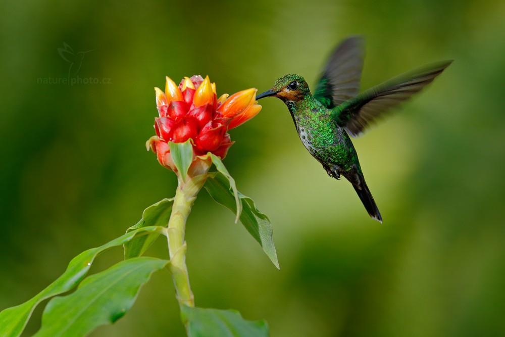 Kolibřík zelenotemenný